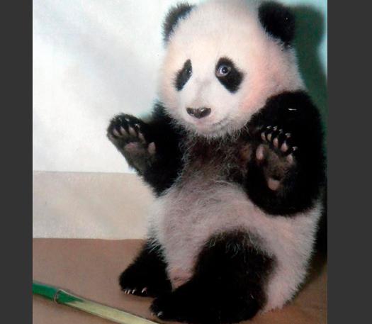 熊猫搞笑卖萌视频 动物搞笑视频 呆萌熊猫打架