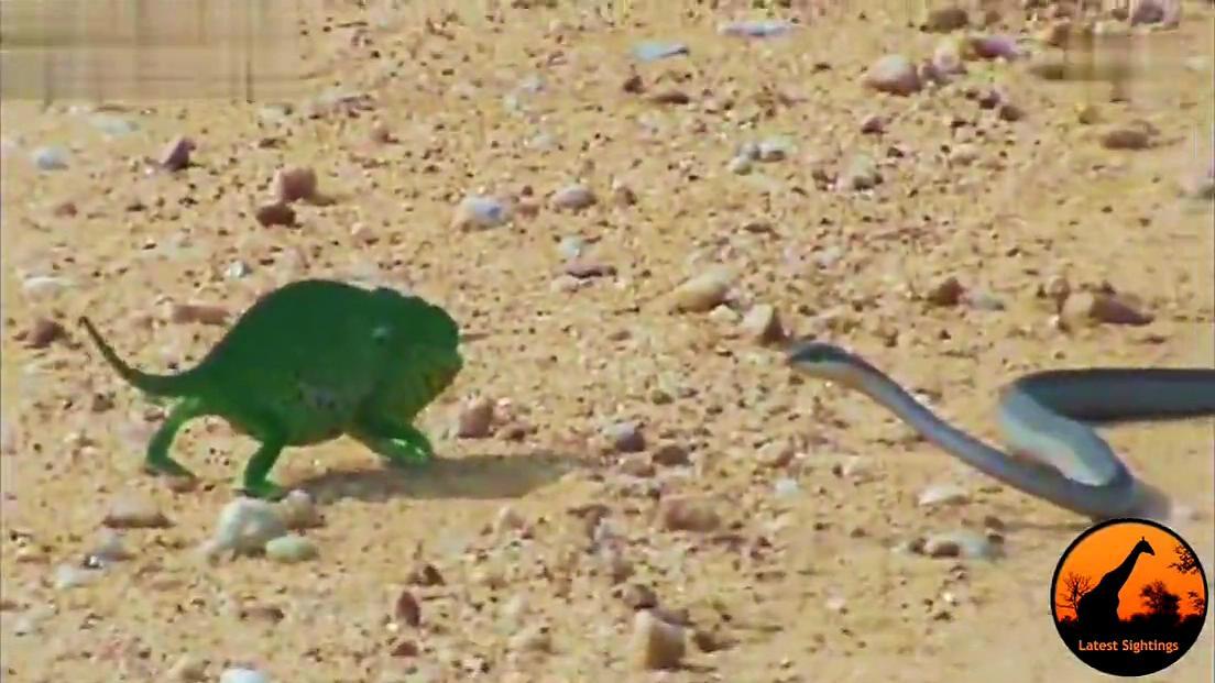 动物打架高清 变色龙与蛇大战