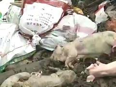 代表建议:免费帮养殖户处理病死畜禽